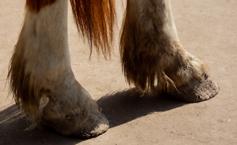 Achterbenen paard